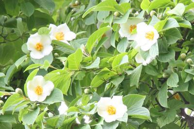 沙羅双樹の花.jpg