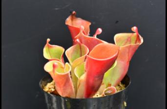 「食虫植物のひみつ展」六甲高山植物園 85周年特別企画