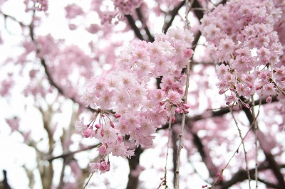 桜イメージ.jpg