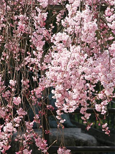 桜-.湯けむり広場jpg