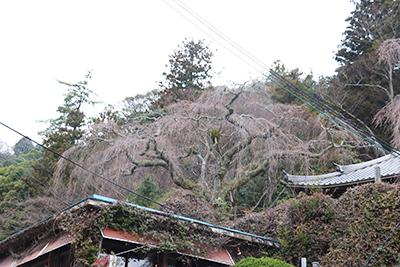 ★善福寺の桜(ブログ用).jpg