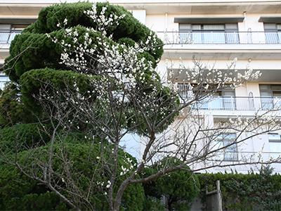 10階庭園-梅の木.jpg