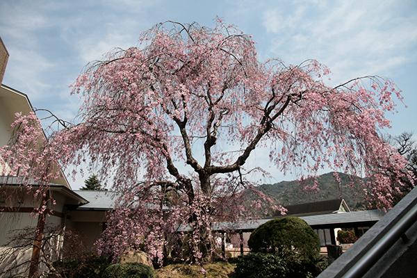 三の湯桜縮小.jpg