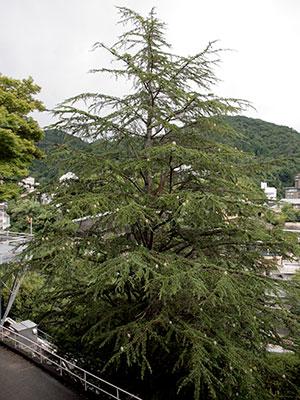 兵衛向陽閣-ヒマラヤ杉.jpg