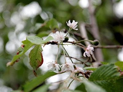 兵衛向陽閣-季節外れの桜とさくらんぼ.jpg