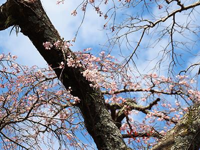 190403善福寺桜.jpg
