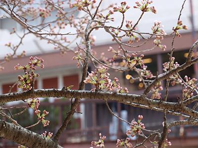 有馬川桜.jpg