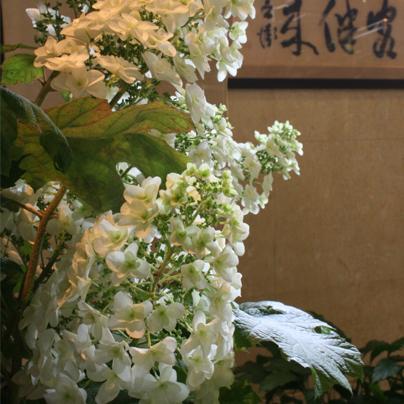 柏葉 紫陽花.jpg