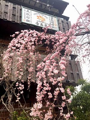 桜だより2017_吉高屋さんの桜1.jpg