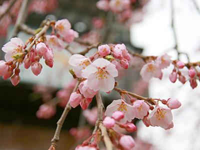 桜だより2017_吉高屋さんの桜2.jpg