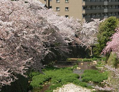桜-有馬川.jpg