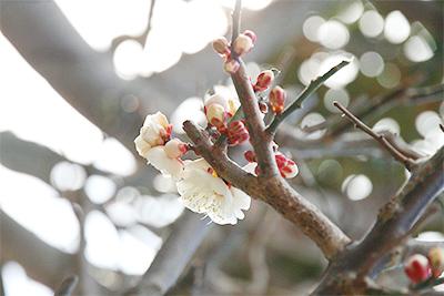 梅の花0223.jpg