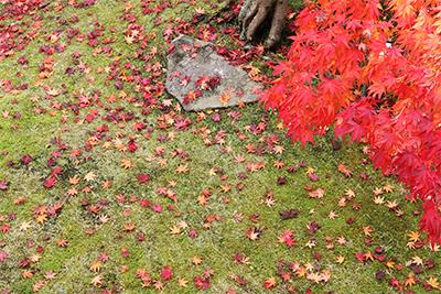 老松 紅葉の絨毯.jpg