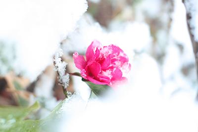 雪の中の山茶花.jpg