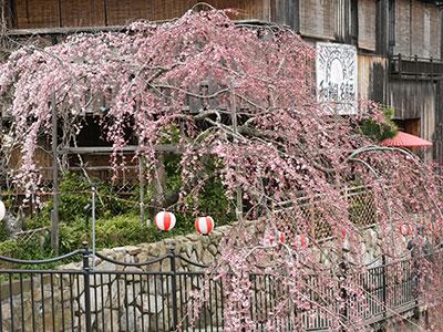 桜だより2017_吉高屋さんの桜3.jpg