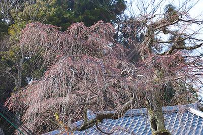 0321有馬町内桜2(ブログ用).jpg