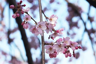 0321有馬町内桜4(ブログ用).jpg