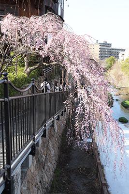 0321有馬町内桜5(ブログ用).jpg