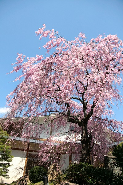 130409-八重紅枝垂桜.jpg