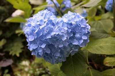 130618ハート紫陽花.jpg