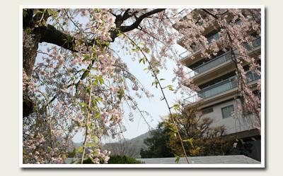 20120424lastsakura.jpg