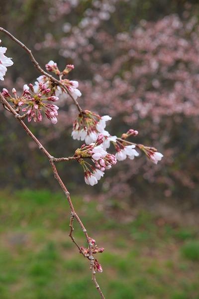 20130331ソメイヨシノ咲き始め.jpg