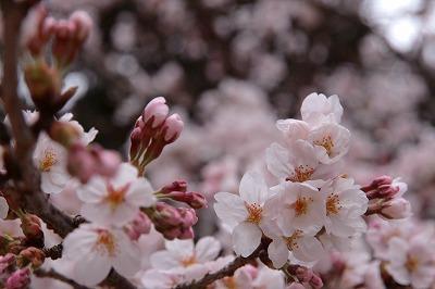 20130403?湯泉神社の桜.jpg