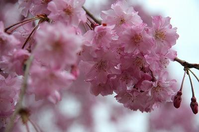 20130406-枝垂桜.jpg