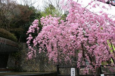 20130406-秀吉様と桜.jpg