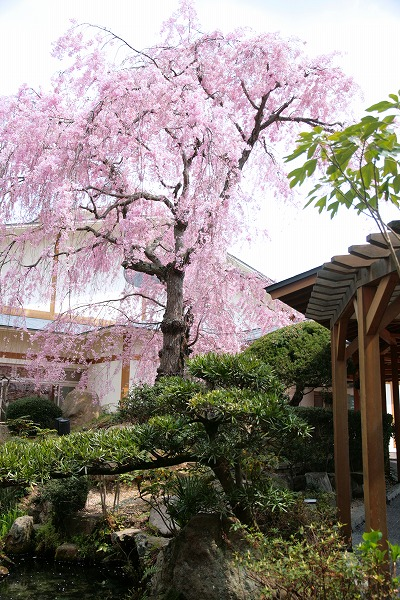 20130411-三の湯桜.jpg