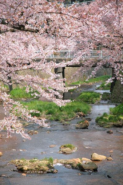 20130411-桜舞う有馬川.jpg