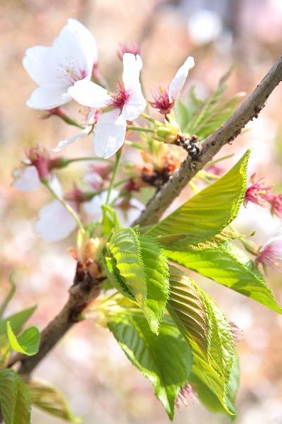 20130415-葉桜.jpg