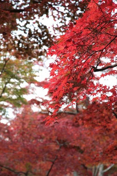 20131108-瑞宝寺公園真っ赤なモミジ.jpg
