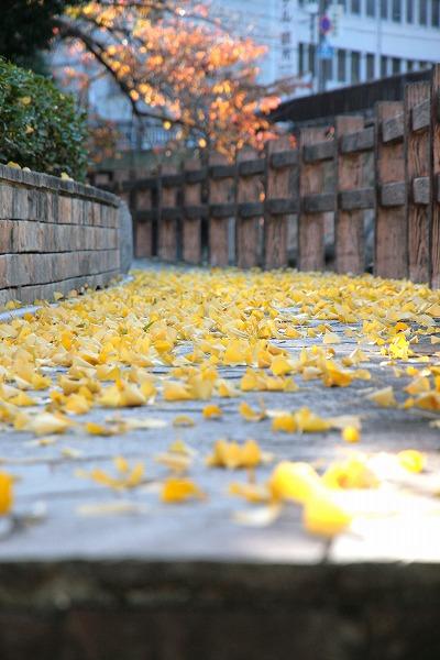 20131118-銀杏の葉.jpg