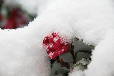 20140208雪化粧花.jpg
