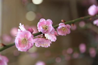20140324-玄関の梅の花アップ-ブログ用.jpg
