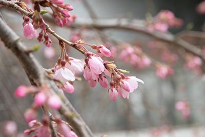 20140329-吉高屋さんの枝垂れ桜b.jpg