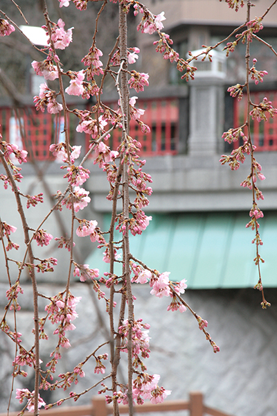 20140329-枝垂れ桜と太閤橋b.jpg