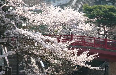 20140408-ねね橋と桜2ブログ用.jpg