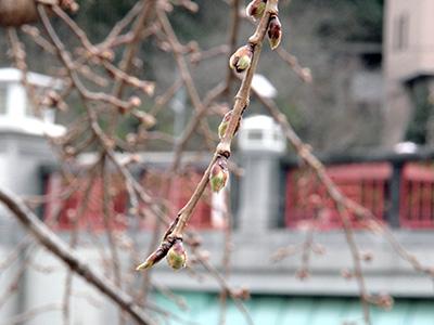 20150318桜.jpg