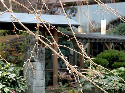 20150321三の湯桜つぼみ1.jpg