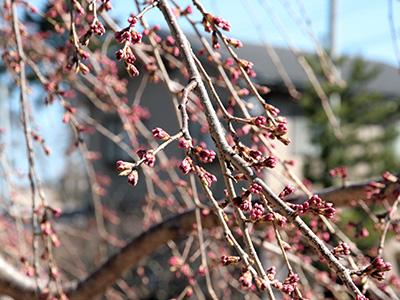 20150326吉高屋桜2.jpg