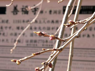 20150326善福寺桜.jpg