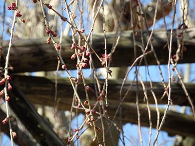 20150328念仏寺の桜のつぼみ.jpg