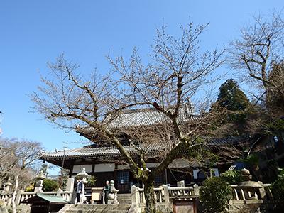 20150328温泉寺の桜.jpg