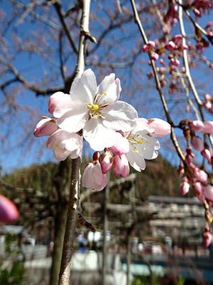 20150328吉高屋の桜.jpg