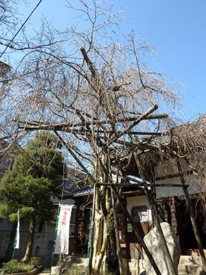 20150328念仏寺の桜.jpg