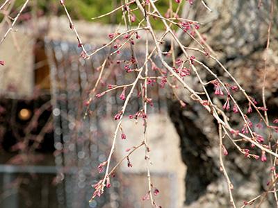 20150331三の湯桜.jpg