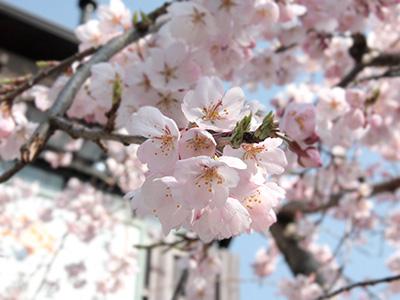 20150331吉高屋桜1.jpg
