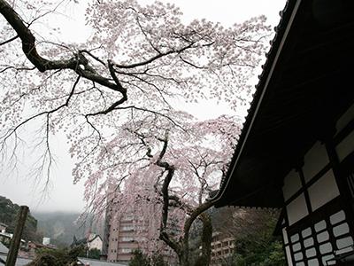 2015043善福寺桜.JPG